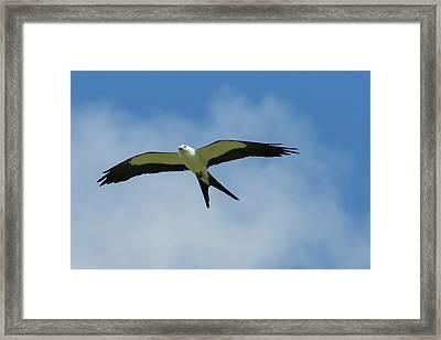 Swallow-tailed Kite In Flight Framed Print by Maresa Pryor