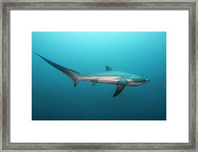 Swimming Thresher Shark Framed Print by Scubazoo