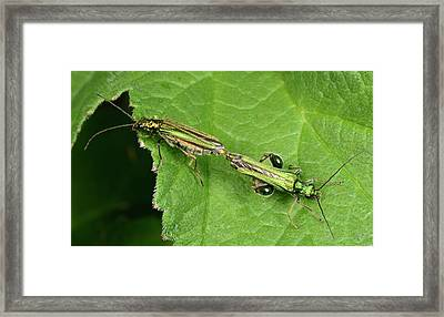 Swollen-thighed Beetles Framed Print by Nigel Downer