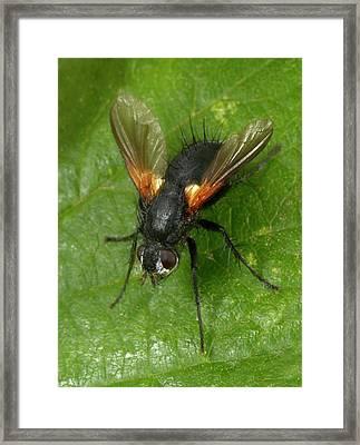 Tachinid Fly Framed Print by Nigel Downer