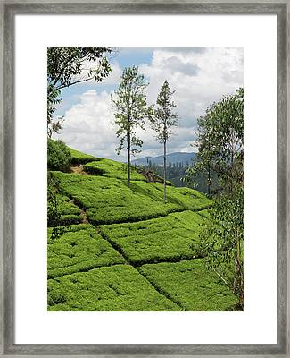 Tea Plants On Hillside Seen Framed Print by Panoramic Images
