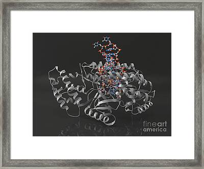 Telomerase Molecule Bound To Dna Framed Print by Laguna Design