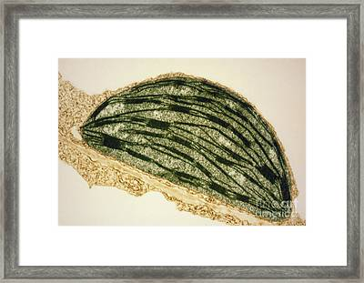 Tem Of A Chloroplast From A Tobacco Leaf Framed Print by Dr. Jeremy Burgess