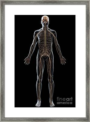 The Nerves Of The Body Framed Print by Science Picture Co