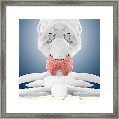 Thyroid Anatomy, Artwork Framed Print by Science Photo Library