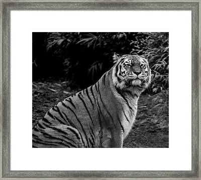Tiger Portrait Framed Print by Martin Newman