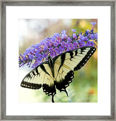 Tiger Swallowtail Butterfly Framed Print by Iris Richardson