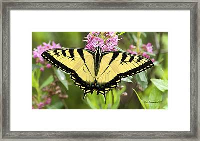 Framed Print featuring the photograph Tiger Swallowtail Butterfly On Milkweed Flowers by A Gurmankin
