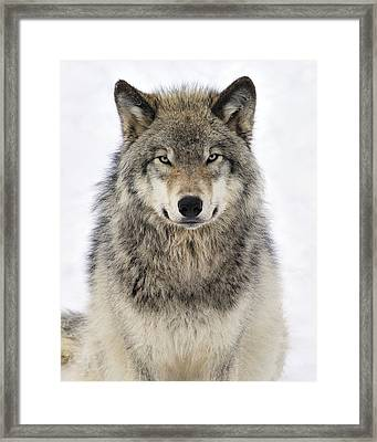Timber Wolf Portrait Framed Print by Tony Beck
