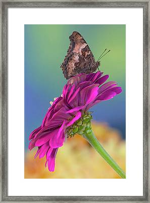 Tortoise-shell Butterfly, Nymphalis Framed Print by Darrell Gulin