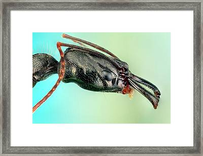 Trap-jaw Ant Framed Print by Nicolas Reusens