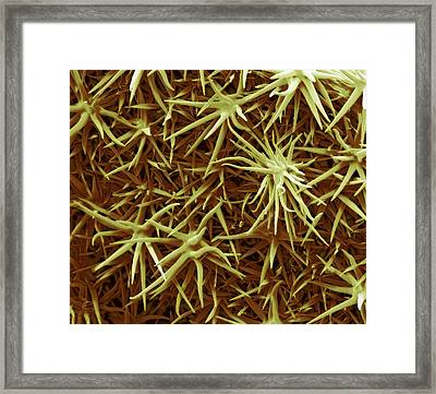 Trichomes Framed Print by Steve Gschmeissner