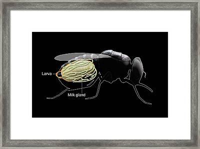 Tsetse Fly 'milk' Gland Framed Print by Mikkel Juul Jensen