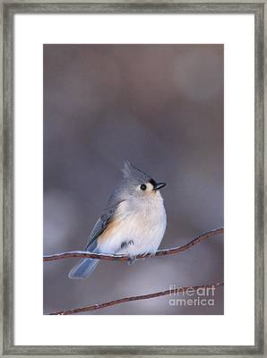 Tufted Titmouse Framed Print by Larry West
