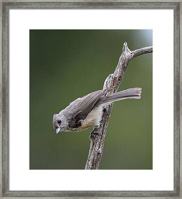 Tufted Titmouse Framed Print by Todd Hostetter