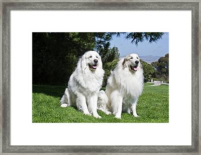 Two Great Pyrenees Sitting Together Framed Print by Zandria Muench Beraldo