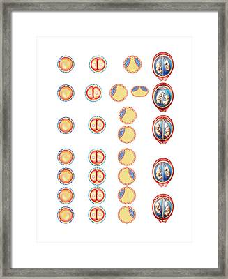 Types Of Twin Framed Print by Asklepios Medical Atlas