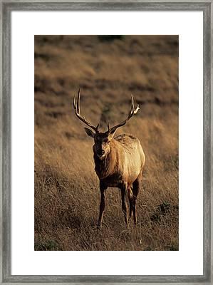 Usa, California, Tule Elk, Point Reyes Framed Print by Gerry Reynolds