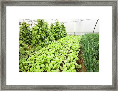 Vegetables Growing In Polytunnels Framed Print by Ashley Cooper