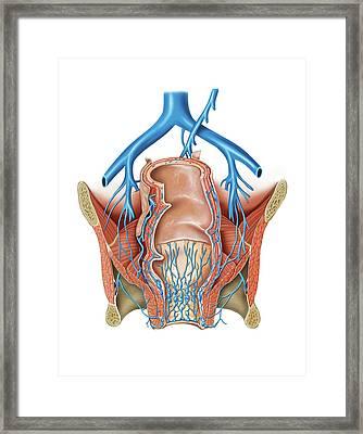 Venous System Of The Pelvis Framed Print by Asklepios Medical Atlas