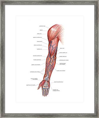 Venous System Of The Upper Limb Framed Print by Asklepios Medical Atlas