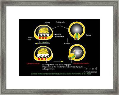 Vestibular Ciliated Cells, Diagram Framed Print by Francis Leroy, Biocosmos