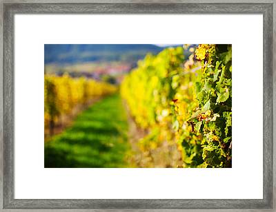 Vineyards In Autumn, Mittelbergheim Framed Print by Panoramic Images