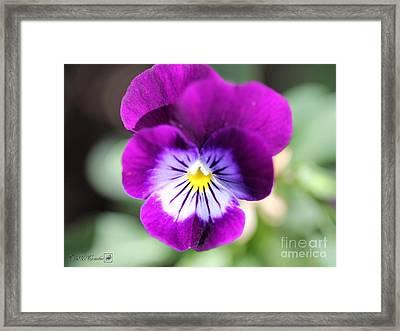 Viola Named Sorbet Plum Velvet Jump-up Framed Print by J McCombie