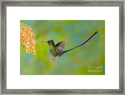 Violet-tailed Sylph Framed Print by Anthony Mercieca
