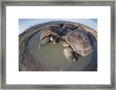 Volcan Alcedo Giant Tortoises Wallowing Framed Print by Tui De Roy