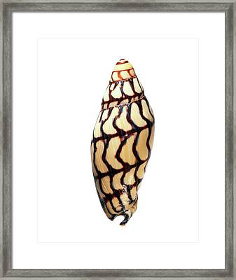 Volute Sea Snail Shell Framed Print by Gilles Mermet