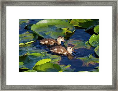 Wa, Juanita Bay Wetland, Mallard Ducks Framed Print by Jamie and Judy Wild