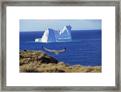 Wandering Albatross (diomendea Exulans Framed Print by Martin Zwick