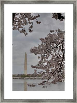 Washington Monument - Cherry Blossoms - Washington Dc - 011315 Framed Print by DC Photographer
