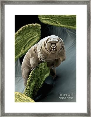 Water Bear Or Tardigrade Framed Print by Eye of Science