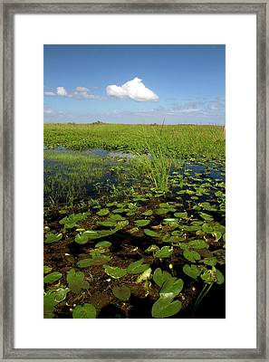 Water Lilies And Sawgrass Framed Print by David R. Frazier