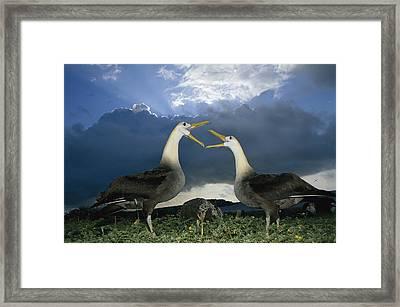 Waved Albatross Courtship Dance Framed Print by Tui De Roy