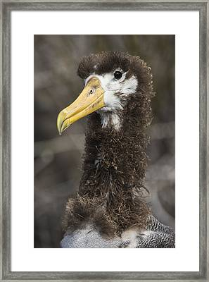 Waved Albatross Molting Juvenile Framed Print by Pete Oxford
