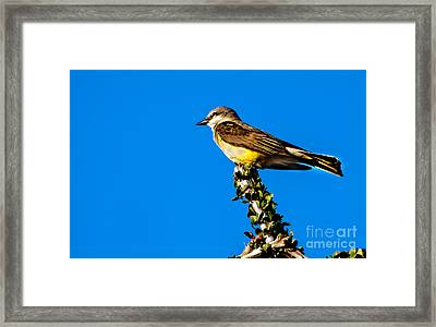 Western Kingbird Framed Print by Robert Bales