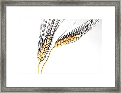 Wheat On White Framed Print by Carol Leigh