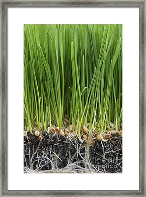Wheatgrass Framed Print by Tim Gainey