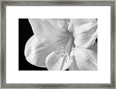 White Amaryllis Framed Print by Adam Romanowicz