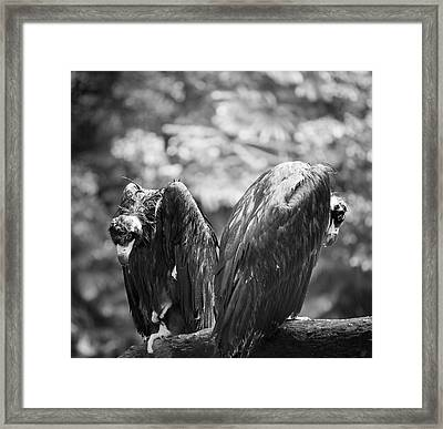 White-backed Vultures In The Rain Framed Print by Pan Xunbin