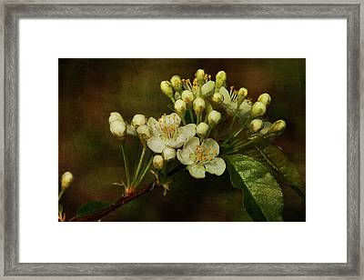 White Blossoms Framed Print by Cindi Ressler