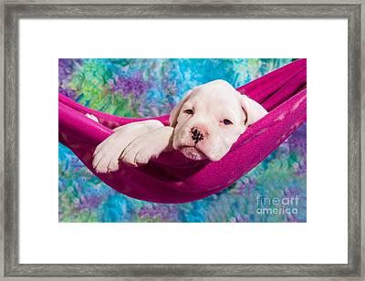 White Boxer Dog Puppy Framed Print by Doreen Zorn