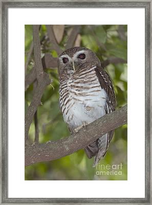 White-browed Owl Framed Print by Greg Dimijian