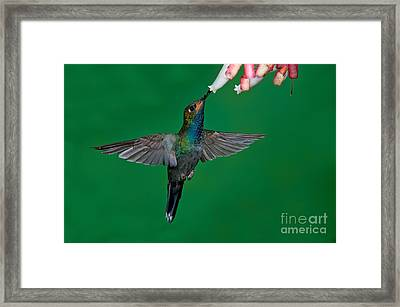 White-tailed Hillstar Framed Print by Anthony Mercieca