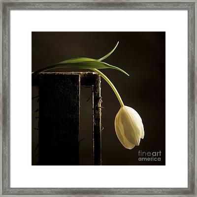 White Tulip Framed Print by Bernard Jaubert