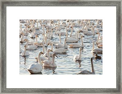 Whooper Swans Framed Print by Ashley Cooper