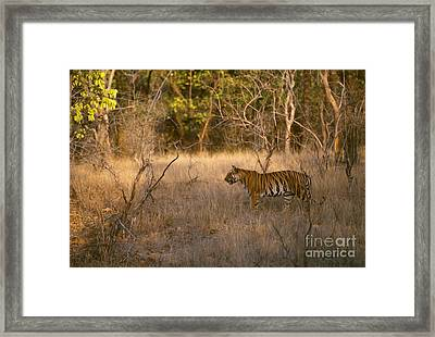 Wild Bengal Tiger Framed Print by Mark Newman